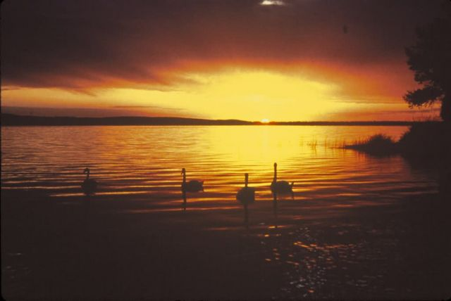 Sunset and Swans Picture