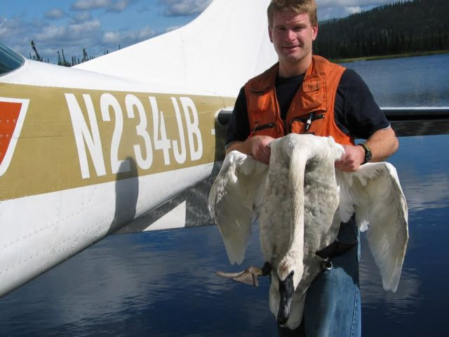WOE175 Pilot-Biologist Capture Trumpeter Swan for Banding Picture