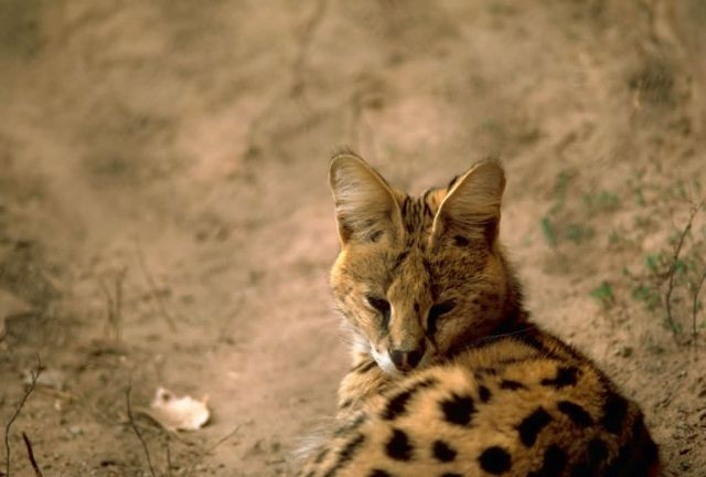 Serval cat Picture