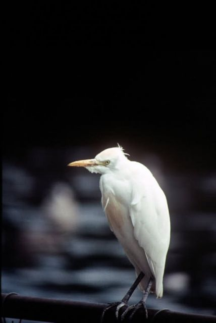 Cattle Egret Picture