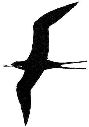 frigatebird (ClipArt) Picture