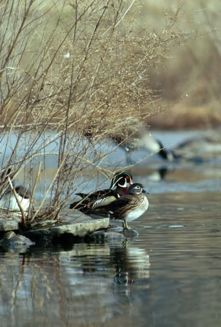 Wood Duck Pair Picture