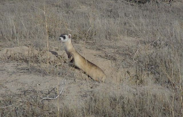 WOE1 Black-Footed Ferret Picture