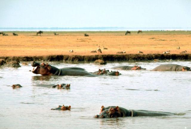 East African Hippopotamus Picture