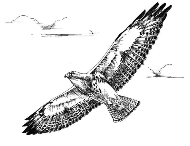 Swainson's Hawk In Flight Picture