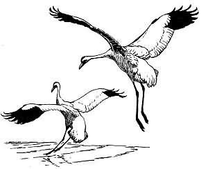Whooping Crane Picture