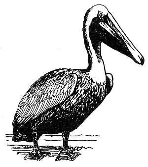 Brown Pelican Picture