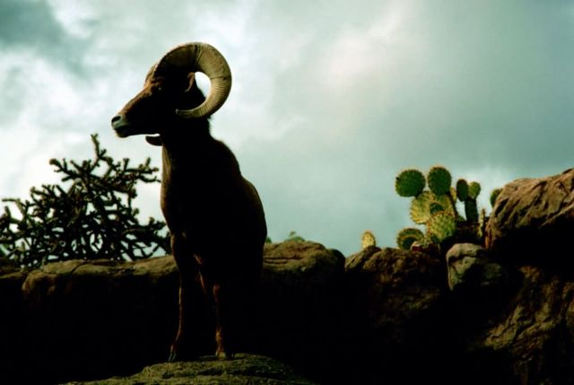 Desert Bighorn Sheep Picture