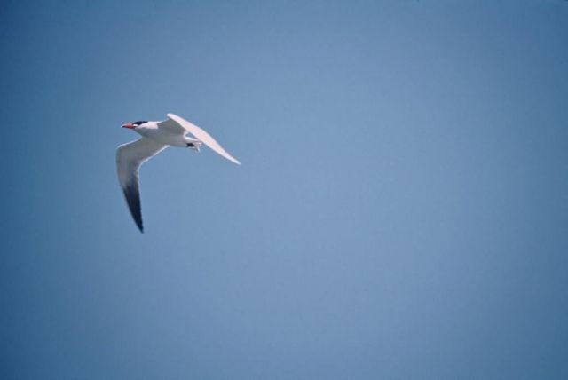 Caspian Tern Picture