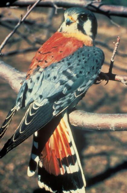 American Kestrel Picture