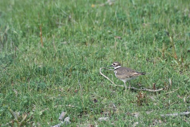 Killdeer Picture