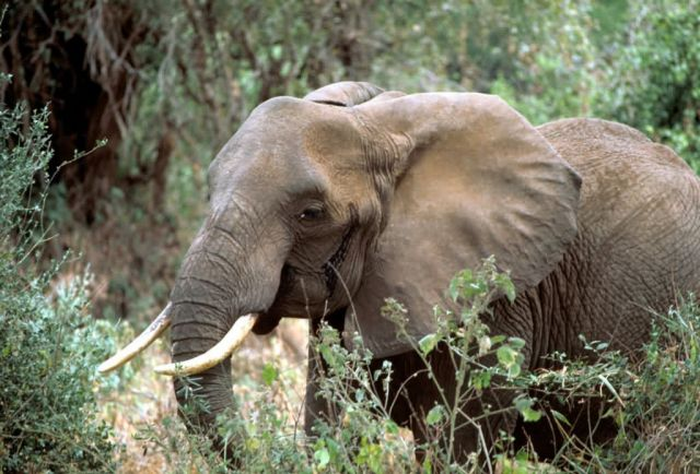 African elephant Picture