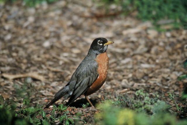 American Robin Picture