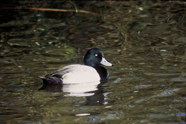 Greater Scaup Picture