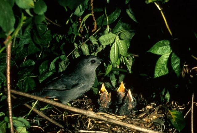 Catbird and Young Picture