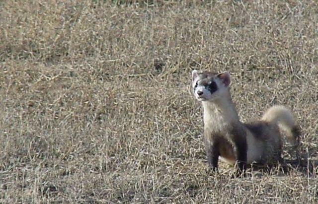 WOE2 Black-Footed Ferret Picture