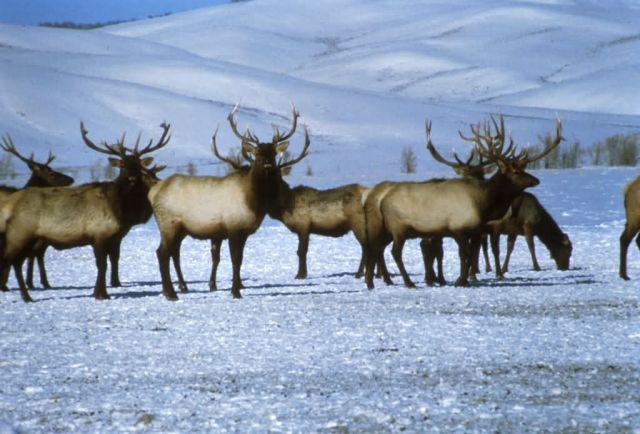 Elk, National Elk Refuge Picture