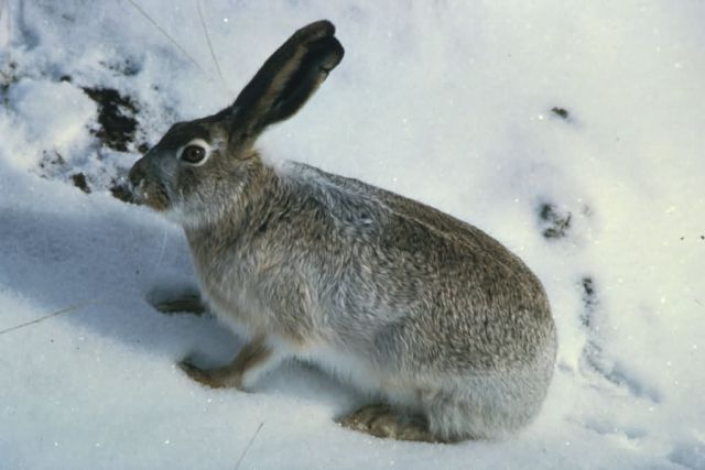 White-tailed Jackrabbit Picture