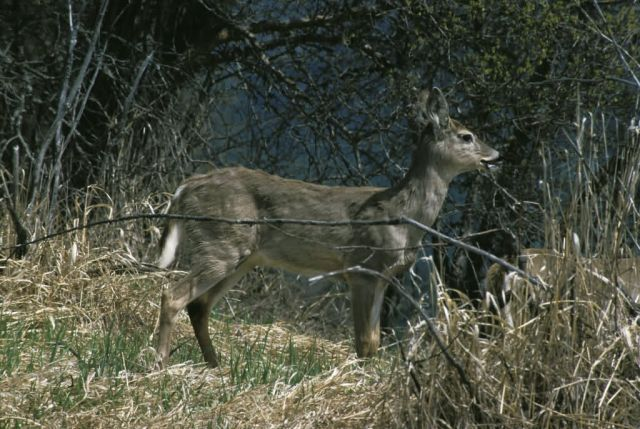 White-tailed Deer Picture