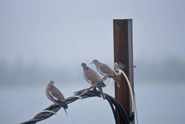 White-winged Doves Picture