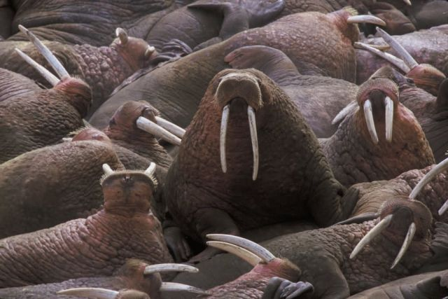 Walrus on Togiak National Wildlife Refuge Picture