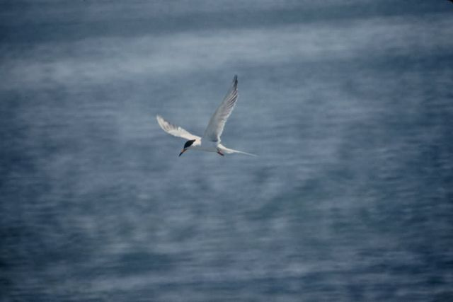 Forster's Tern Picture