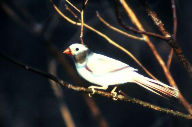 Aberrant Cardinal Picture