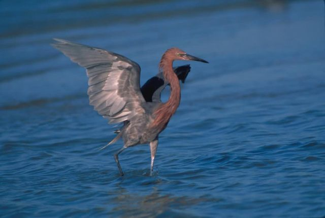 Reddish Egret Photo Picture