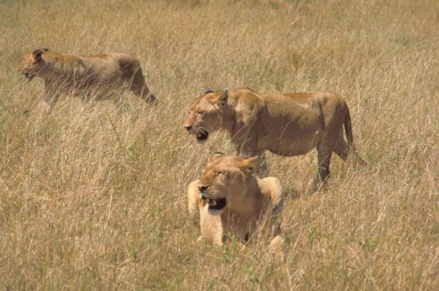 African Lions Picture