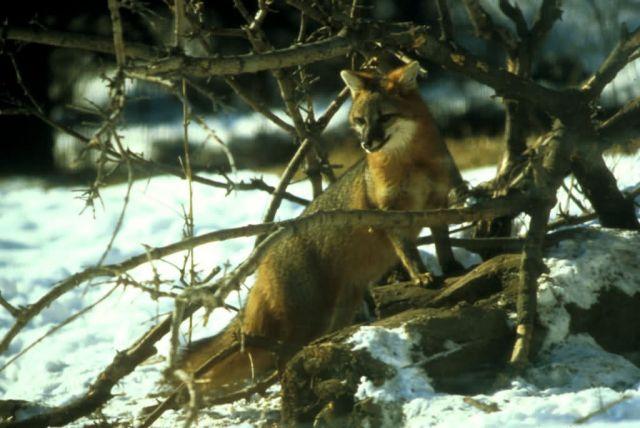 Gray Fox Picture