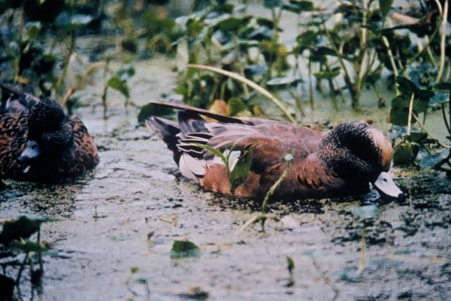 American Wigeon Picture