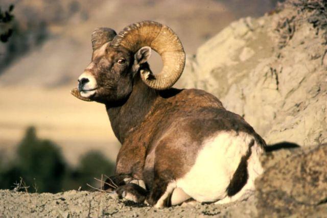 Bighorn Ram Picture