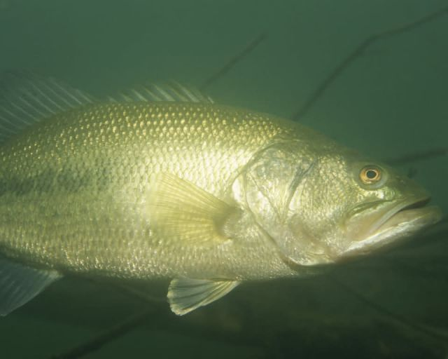 Largemouth Bass Picture