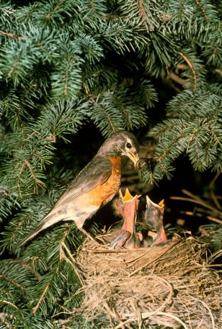 Robin with Chicks Picture