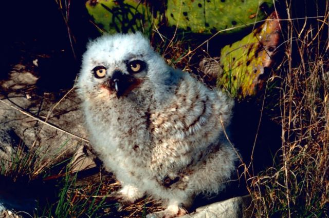 Great Horned Owl Chick Picture