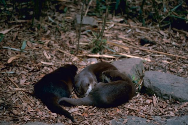 River Otters Picture