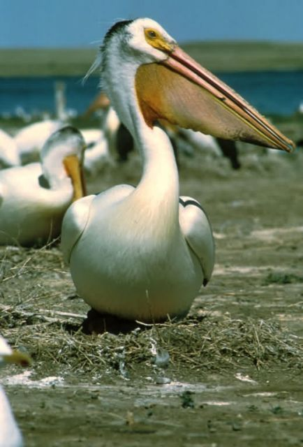 White Pelican Picture