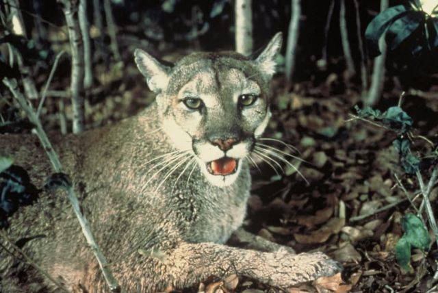 Florida Panther Picture