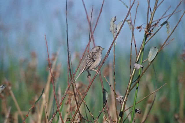 House Finch Picture