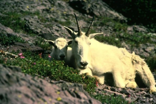 Mountain Goat Picture