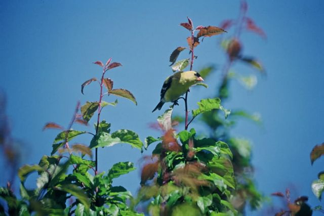 Male Goldfinch Picture