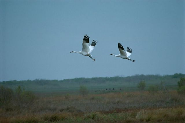 Whooping Cranes Picture