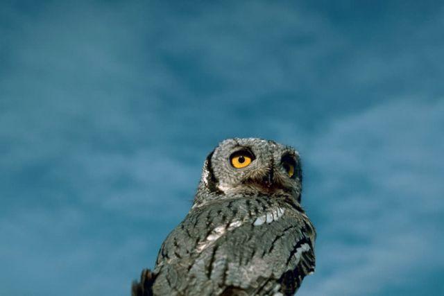 Western screech owl Picture
