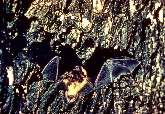Little Brown Bats Picture