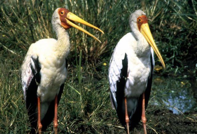 Yellow-billed Storks Picture