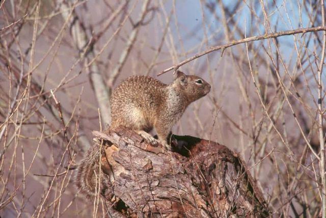 California Ground Squirrel Picture