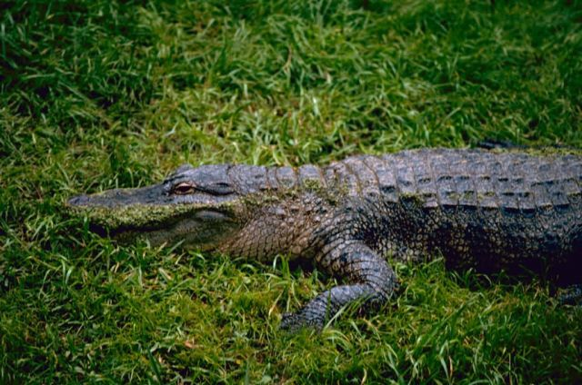 American Alligator Picture