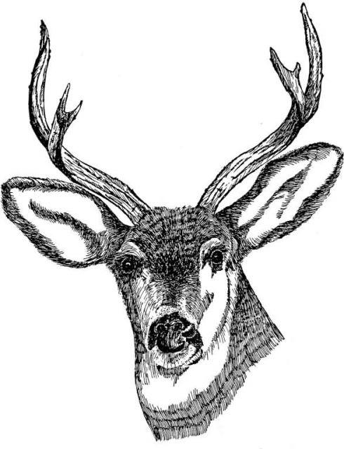 Deer (head shot) Picture