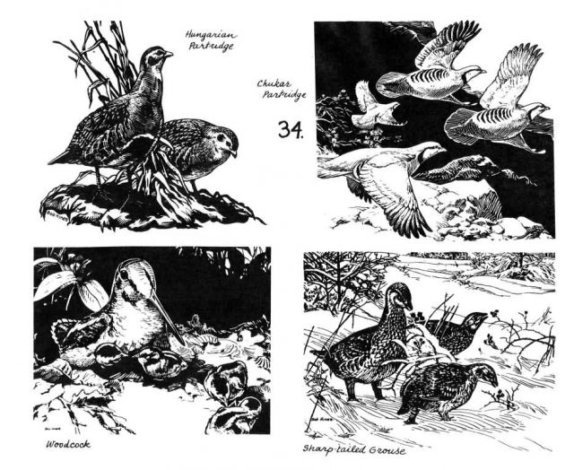 Game Birds-grouse, partridge, woodcock Picture