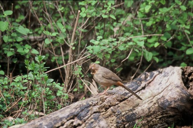 Brown Towhee (Pacific Coast) Picture